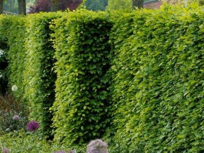 Hæk- og slyngplanter
