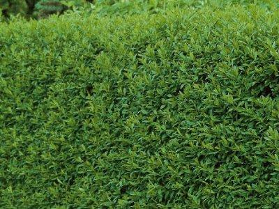 Hækplanter