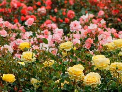 De skønne roser