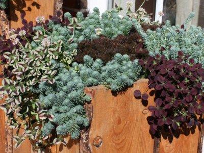 Sedum, Trifolium og Heuchera