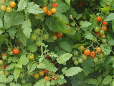 Tomater med mørk plet