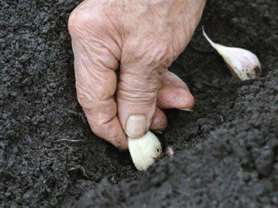 Sæt økologiske hvidløg - i sensommeren